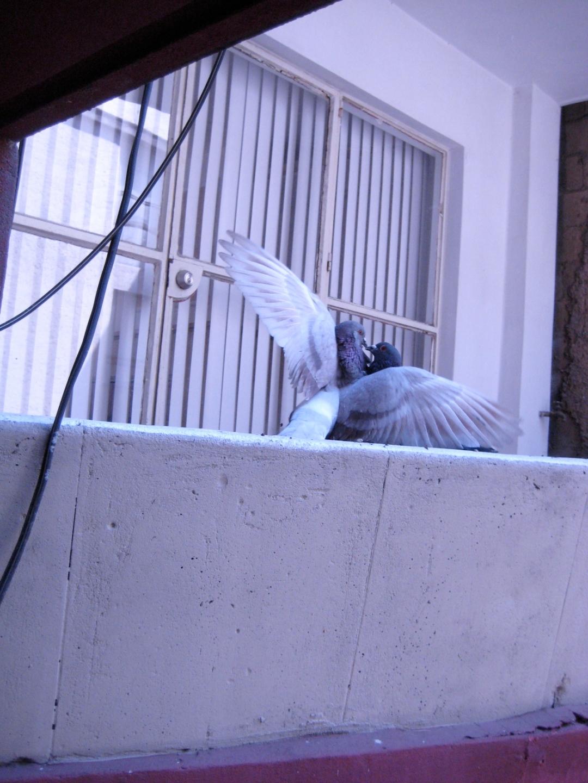 Pidgeons mexico city bird-love